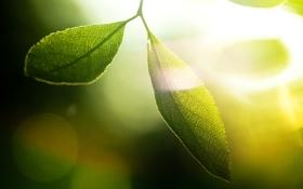 Обои зелень, листья, солнце, макро, лучи, свет, фон