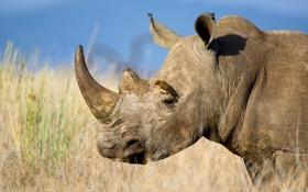 Картинка небо, птица, саванна, носорог, африка