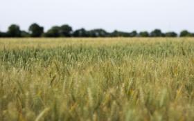 Обои пшеница, поле, небо, деревья, стебли, колос, ферма