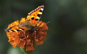Обои цветок, бабочка, крылья, лепестки, насекомое, мотылек