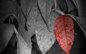 Обои капли, листья, один, красный