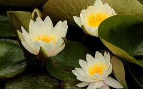 Обои цветы, белые, оранжевые, водоем, кувшинки, лисьтя