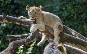 Картинка кошка, лев, коряга, детёныш, львёнок, ©Tambako The Jaguar