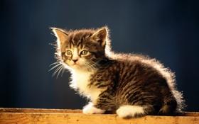 Обои кошка, полосатый, серый котенок