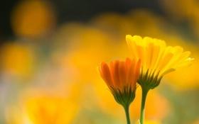 Обои макро, цветы, природа, календула