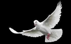 Обои белый, голубь, крылья, полёт, чёрный фон