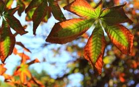 Обои осень, листья, макро, каштан