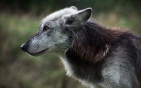 Картинка взгляд, волк, хищник, мех