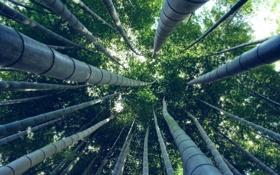Обои лес, деревья, бамбук