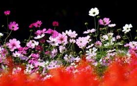 Обои лето, цветы, природа, фокус, космея
