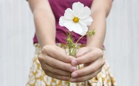Обои цветок, макро, настроение, руки