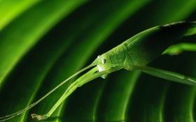 Картинка природа, лист, зеленый, насекомое, кузнечик