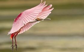 Обои розовый, птица, перья, посадка, оперение
