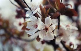 Картинка листья, макро, цветы, вишня, ветка, весна, лепестки