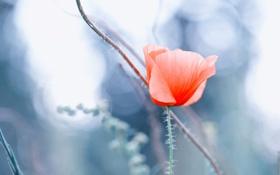Обои цветок, мак, макро, красный