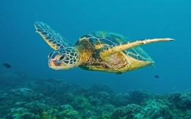 Обои природа, черепаха, море, океан