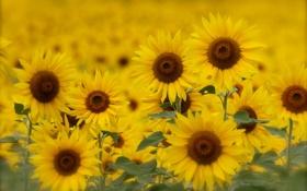 Обои желтые, подсолнухи, поле, лето