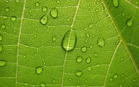 Обои зеленый, растения, виноградный лист