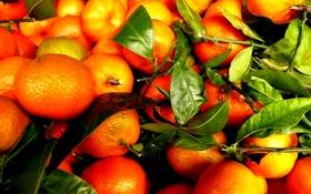 Обои мандарины, листья, фрукты, урожай