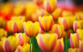 Картинка цветы, природа, весна, лепестки, тюльпаны, бутоны, цветение