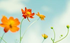 Обои оранжевый, лепесток, цветок