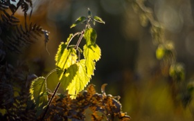 Обои Leaves, Nettle, Fern, Bokeh, Sunlight