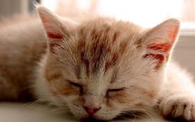 Обои котенок, лапа, сон, рыжий, светлый окрас