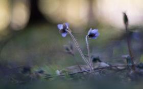 Обои природа, Hepatica, цветы