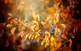 Картинка осень, листья, ягоды, ветка