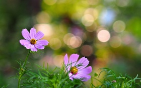 Картинка трава, цветы, лепестки, розовые цветы, боке