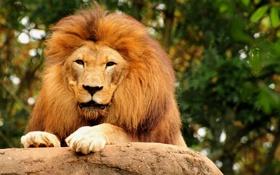 Обои животные, обои, лев, царь зверей