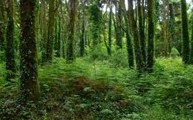 Обои лес, деревья, плющ, папортник