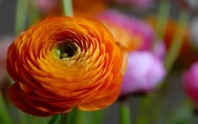 Обои цветок, оранжевый, лепестки, красочный