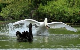 Картинка птицы, крылья, лебеди, разбег, Прочь с дороги!