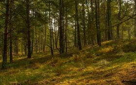Обои лес, деревья, склон, сосны