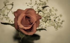 Картинка цветок, цветы, роза, белые