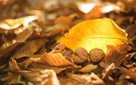 Обои осень, листья, желтые, сухие, орехи, грецкие