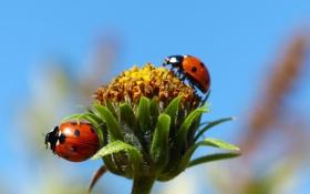 Картинка насекомое, божья коровка, небо, цветок