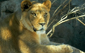 Обои взгляд, лев, львица, зоопарк