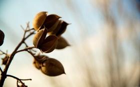 Обои дерево, ветка, стручок, плод