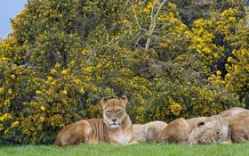 Обои кошки, львы, львица, кусты, ©Tambako The Jaguar
