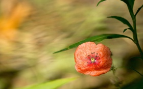 Картинка цветок, листья, красный, фон, растение, мак