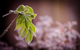 Обои листья, природа, ветка