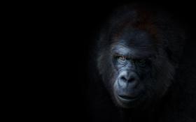 Обои лицо, горилла, Животное