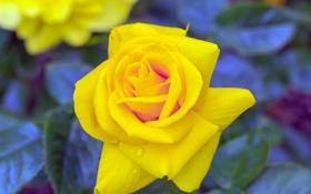 Обои роза, ветка, бутон, желтая