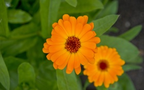 Обои лето, макро, цветы, оранжевый, оранж