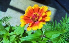 Обои цветок, лепестки, желто-оранжевый цветок