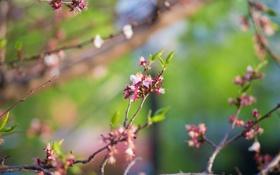 Обои ветки, цветение, веточки, цветение дерева