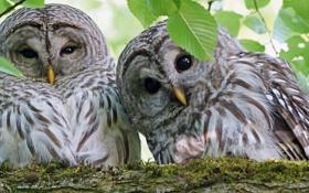 Обои взгляд, природа, фото, совы, веточки, литья