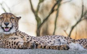 Обои кошка, отдых, гепард, клыки, ©Tambako The Jaguar